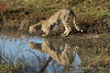 Cheetah-at-water-hole-with-reflection