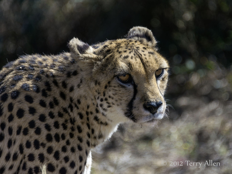 Cheetah-close-up-2