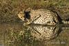 Crouching-cheetah- 4