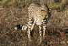 Cheetah-pose-3