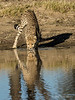 Cheetah-at-water-hole