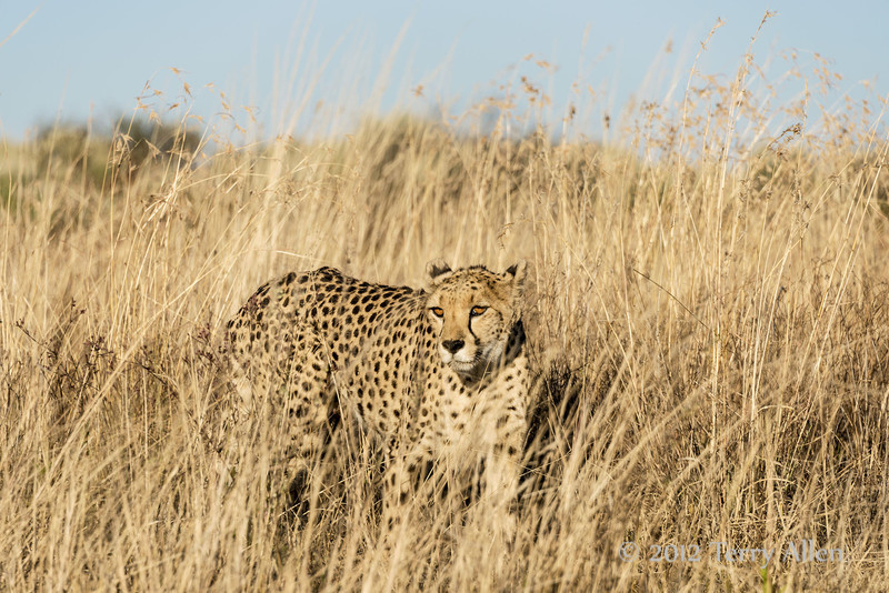Cheetah-in-tall-grass