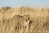 Cheetah-in-tall-grass