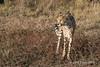 Cheetah-pose-1