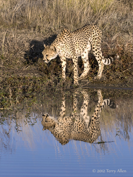 Cheetah-with-reflections-6