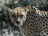 Cheetah-close-up