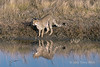Cheetah-with-reflections-7