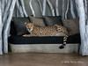 Cheetah-on-sofa-1