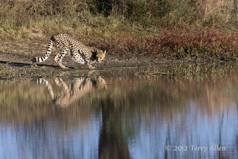 Cheetah-with-reflections-2