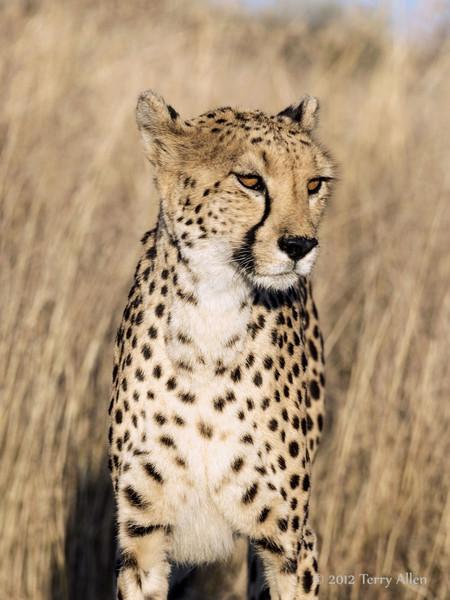 Cheetah-close-up-6