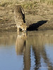 Cheetah-with-reflections-3