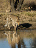Cheetah-with-reflection-and-shadow