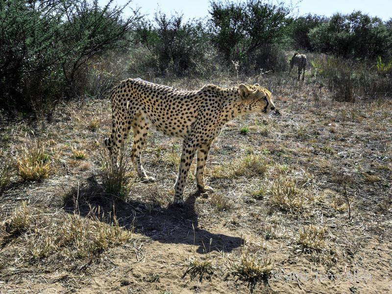 Cheetah-&-shadow