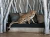 Cheetah-on-sofa-4