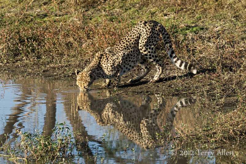 Cheetah-with-nose- in-water