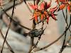 Dusky-sunbird-feeding-on-aloe-flowers-4