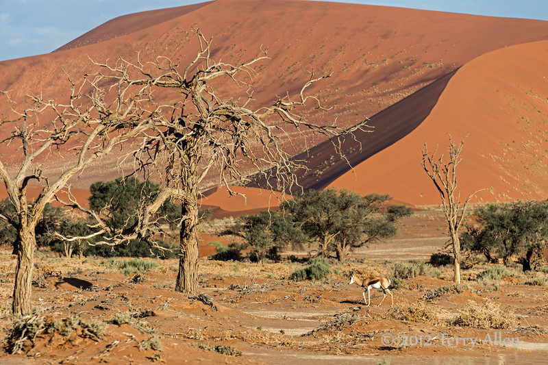 Sand-dunes-and-springbok-at-sunrise,-Sussusvlei