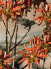 Dusky-sunbird-feeding-on-aloe-flowers-2