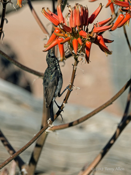 Dusky-sunbird-feeding-on-aloe-flowers-3