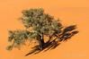 Sand-dune-and-(camelthorn)-tree,-Sossusvlei
