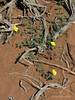 Tribulus-terrestris-flowers-in-desert