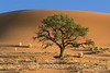 Sand-dune-and-camel-thorn-tree-2