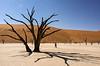 Deadvlei-trees-2,-Sossusvlei