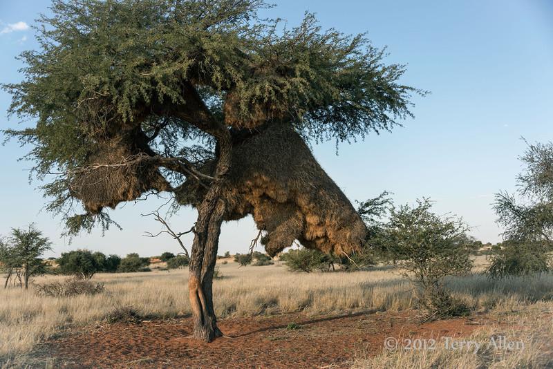Sociable-weaver-nest,-Bagatelle