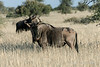 Blue-wildebeest-1,-Bagatelle