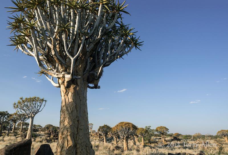 Quiver-tree-forest-1,-Keetsmanhoop