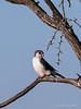Pigmy-falcon,-Bagatelle-2