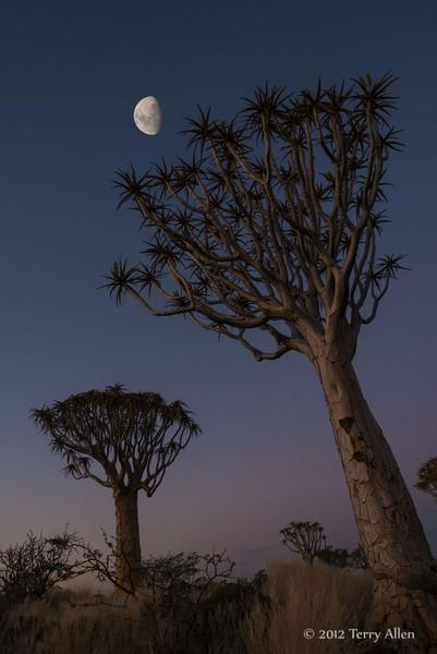Quiver-tree-with-moon-2,-Keetsmanhoop