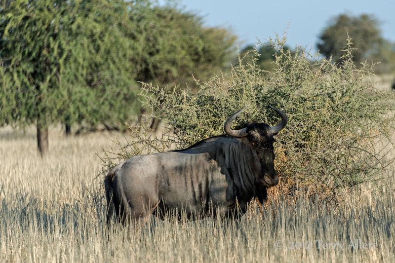 Blue-wildebeest-2,-Bagatelle