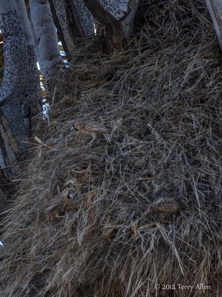 Three-sociable-weaver-birds-building-nest,-Keetsmanhoop