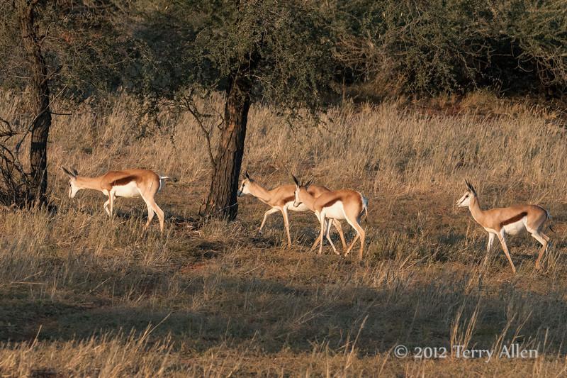 Small-herd-of-springbok,-Bagatelle