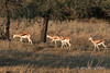 Small-herd-of-springbok,-Bagatelle