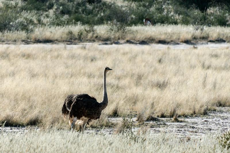 Ostrich,-Intu-Africa