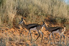 Pair-of-springbok-at-sunset,-Bagatelle