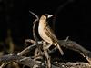 Southern-masked-weaver-bird,-Bagatelle