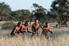 Bushmen-demonstrating-hunting-technique-4,-Intu-Africa