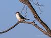 Pigmy-falcon,-Bagatelle