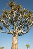 Quiver-tree-in-blossom-1,-Keetsmanhoop