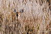 Female-steenbok-hiding-in-tall-grass,-Bagatelle