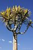Quiver-tree-in-blossom-2,-Keetsmanhoop