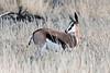 Springbok,-Bagatelle