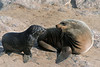 Mother-fur-seal-&-baby,-Cape-Cross,-Namibia