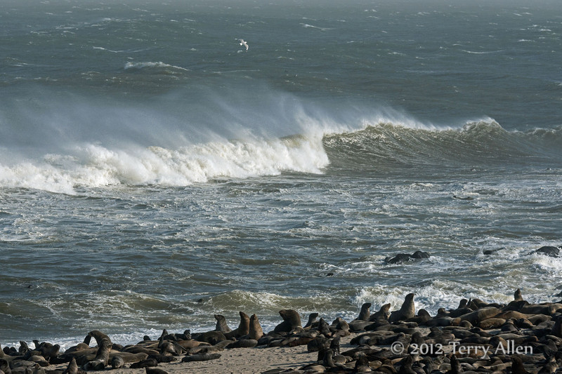Fur-seal-colony,-stormy-day-1,-Cape-Cross-Namibia