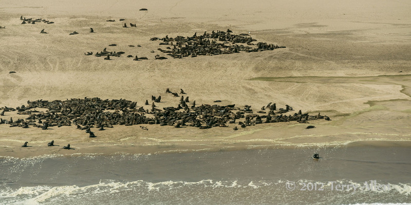 Large-fur-seal-colony,-Skeleton-Coast,-Namibia