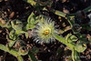 Unknown-desert-succulent-near-Swakop mund,-Namibia