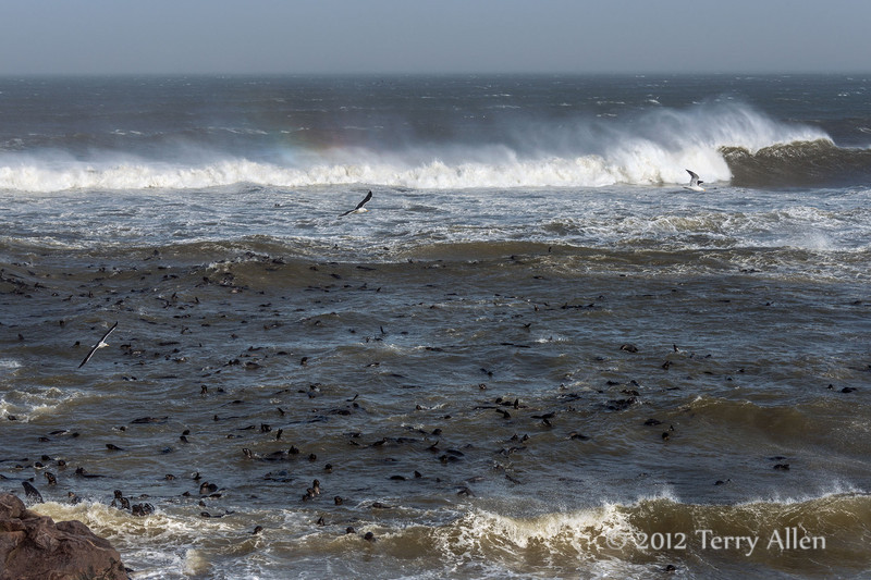 Fur-seal-colony,-stormy-day-4,-Cape-Cross-Namibia